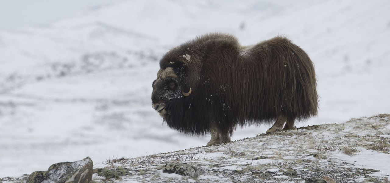 Musk Ox Nature Pbs