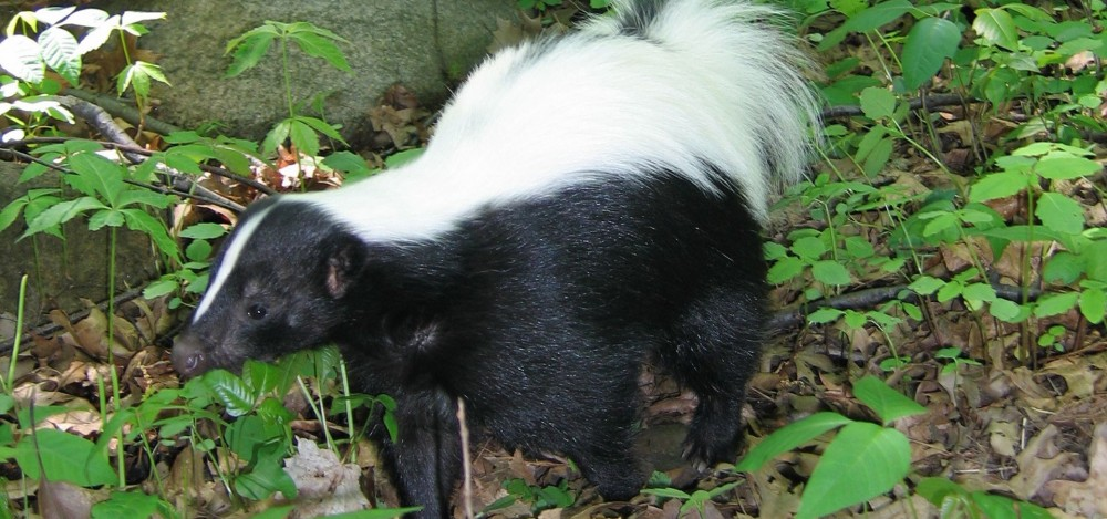 Skunks Nature PBS