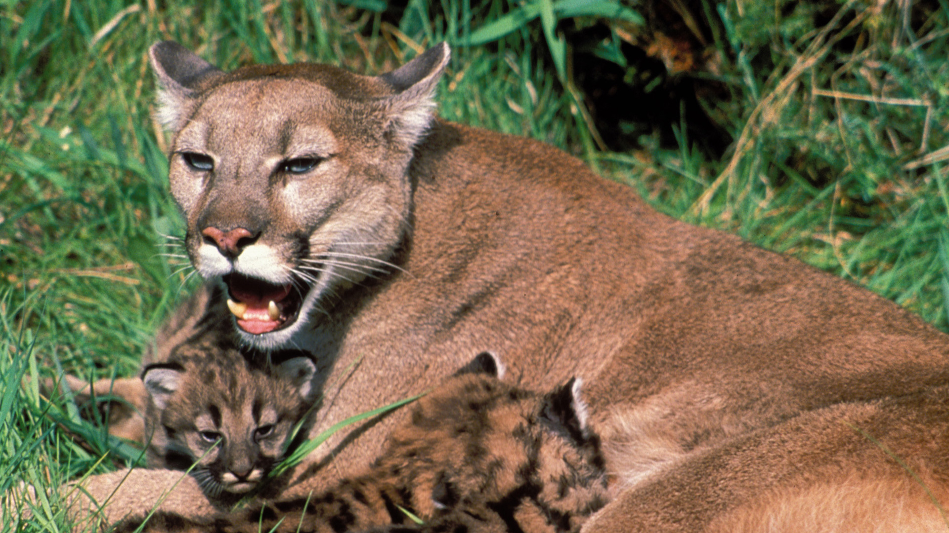 Trail of the Cougar | About | Nature | PBS