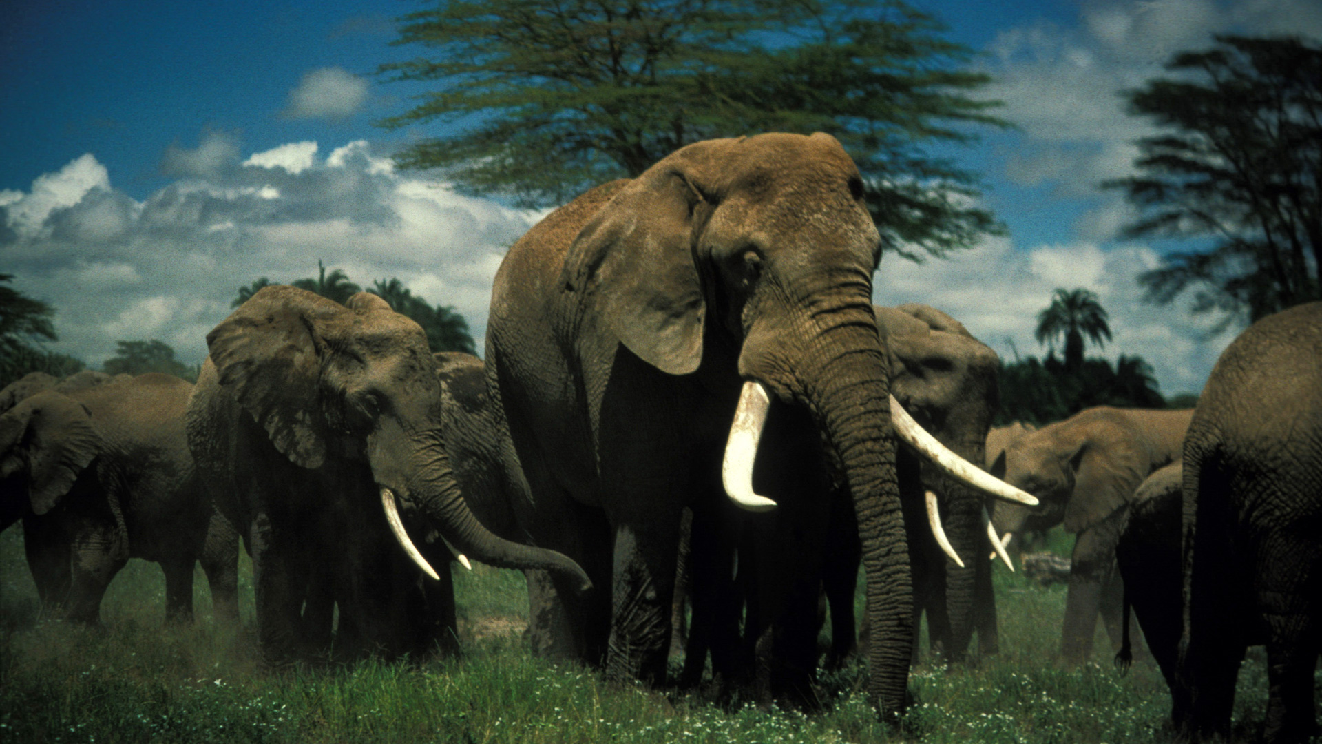 Elephants are large mammals of the family Elephantidae and the order Proboscidea.