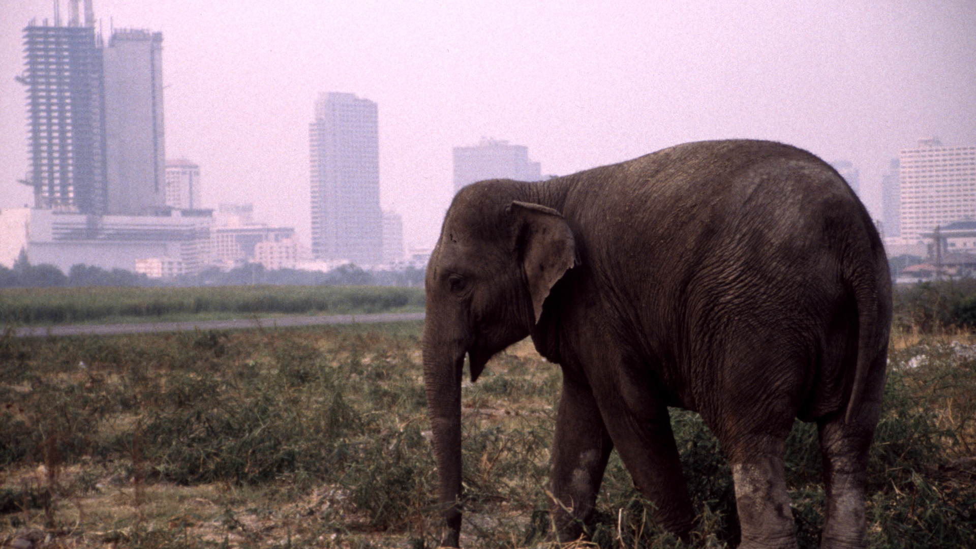 The Urban Elephant | About | Nature | PBS