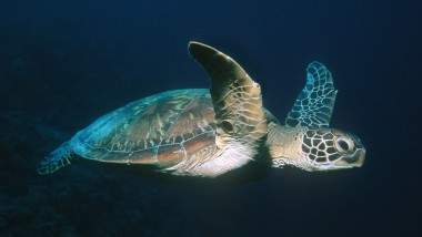 Conservation of Hawksbill Sea Turtles: Perceptions and Realities