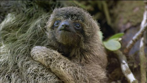 Clip |  Baby Pygmy Sloth Clings to Mom