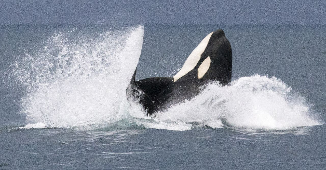 Killer whale jumping and splashing. Photo credit: Gretchen Freund/©Terra Mater