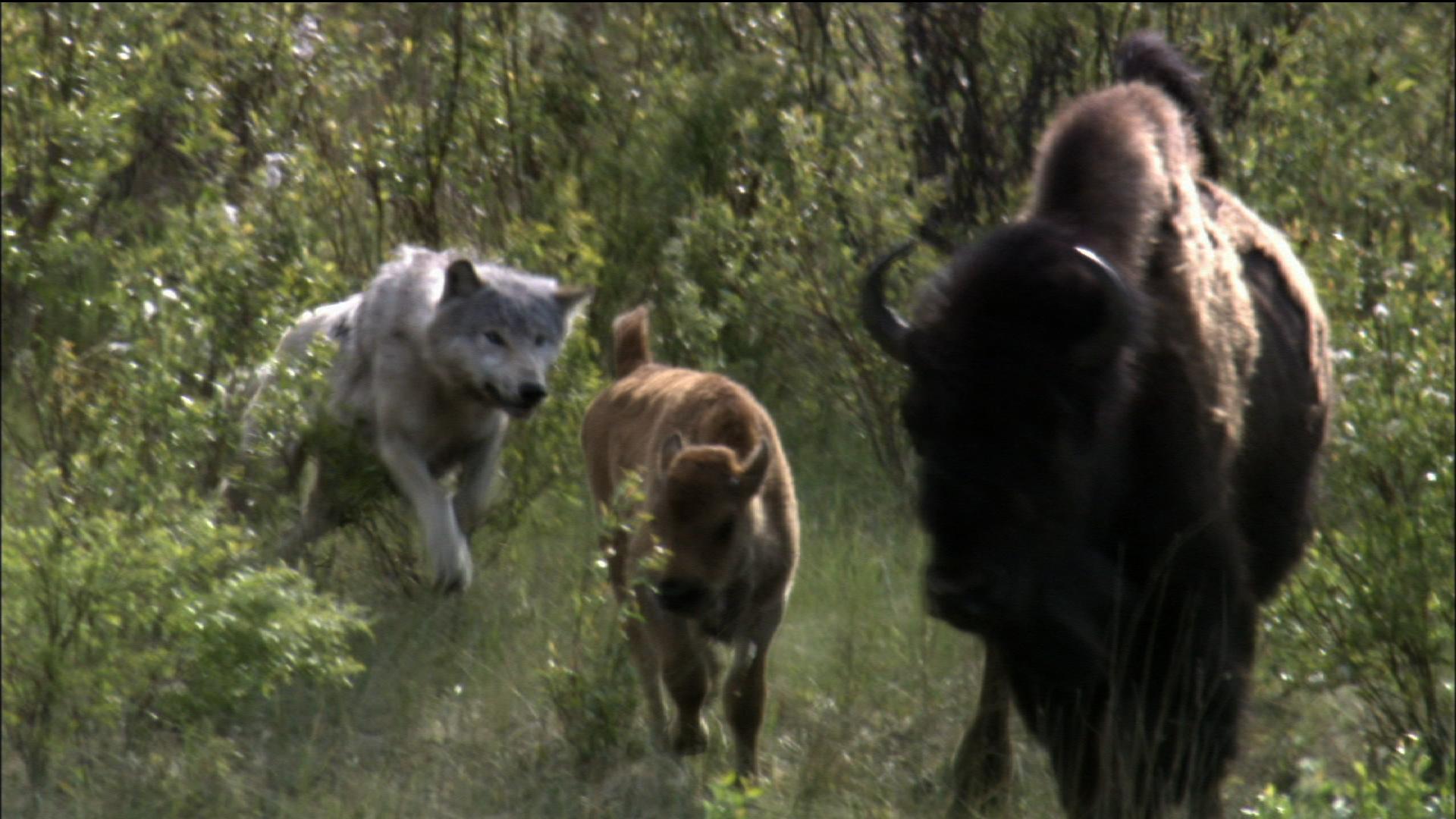 Cold Warriors: Wolves and Buffalo -  Buffalo Survival