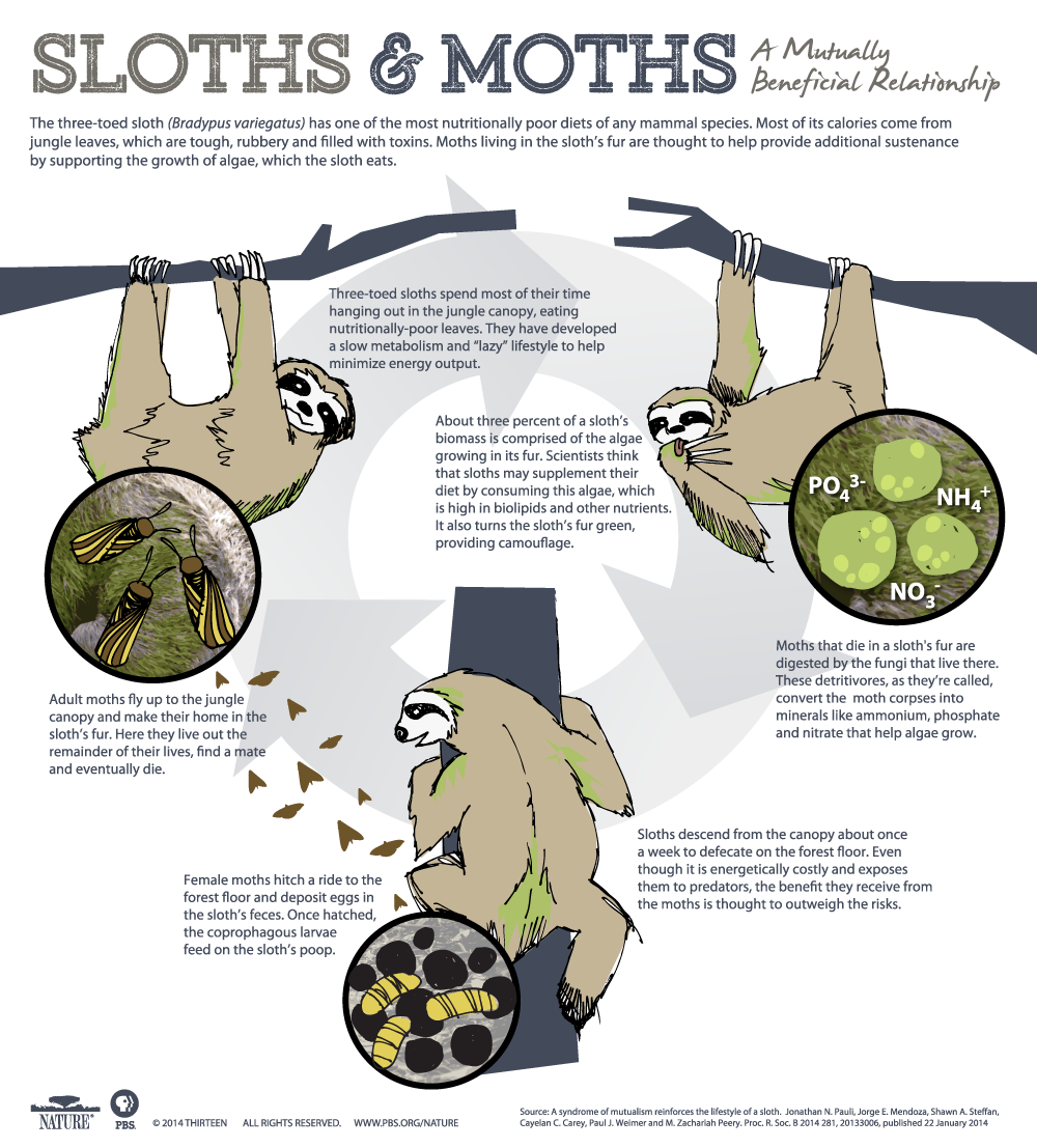 The three-toed sloth (Bradypus variegatus) has one of the most nutritionally poor diets of any mammal species. Most of its calories come from jungle leaves, which  are tough, rubbery and filled with toxins. Moths living in the sloth's fur are thought to help provide additional sustenance by supporting the growth of algae, which the  sloth eats.