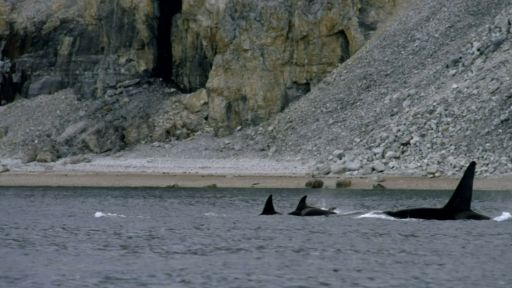 Invasion of the Killer Whales -- Killer Whales Attack Pod of Narwhal
