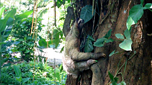 Three-toed Sloth Gives Birth in the Wild