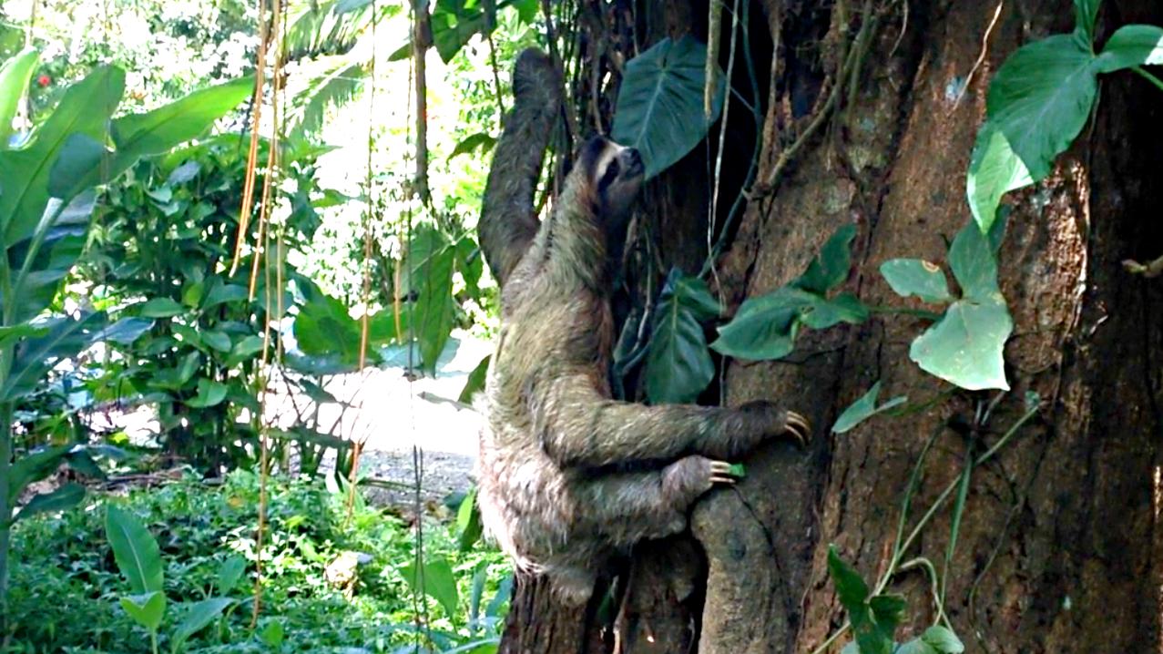 Rare Species Of Birds Three-toed Sloth Gives...