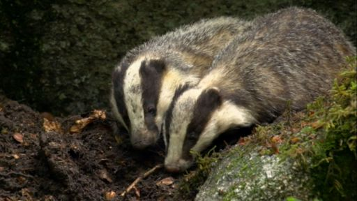 Clip |  Female Badger Looks for Love