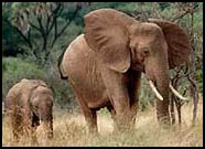 Elephant females guard the young.