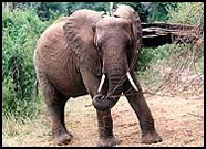 Elephant tusks are still prized.