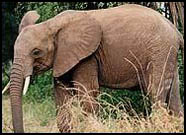 A forest elephant.