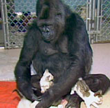 Koko has formed emotional attachments to kittens.