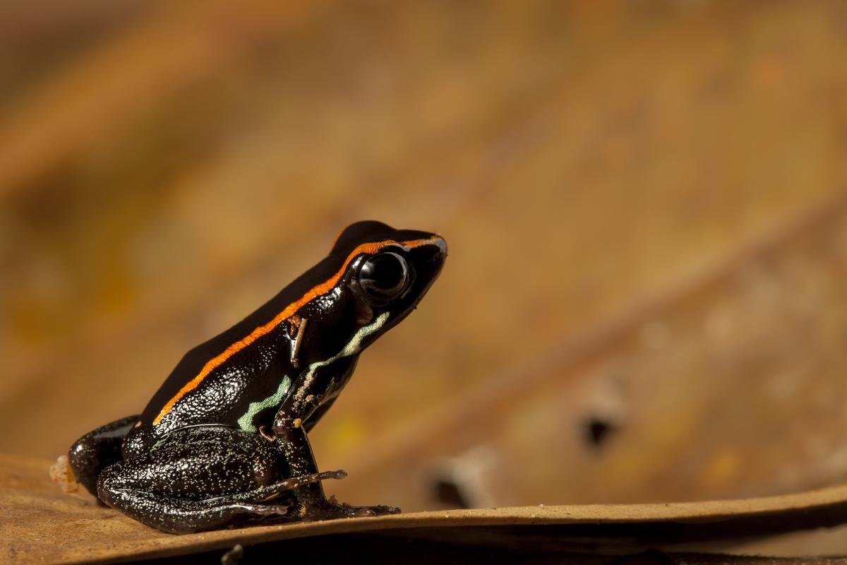 Golfo dulce poison dart frog, Phyllobates vittatus, on the Osa Peninsula of Costa Rica  ©Robin Moore