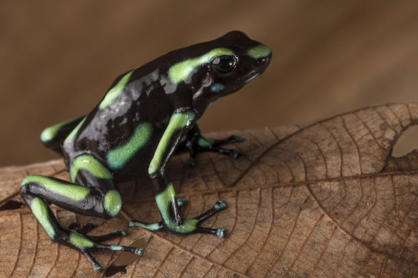 Green and black poison dart frog, Dendrobates auratus, from the Osa Peninsula of Costa Rica ©Robin Moore
