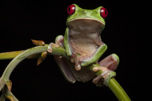 Red-eyed treefrog, Agalychnis calidryas from the Osa Peninsula of Costa Rica ©Robin Moore