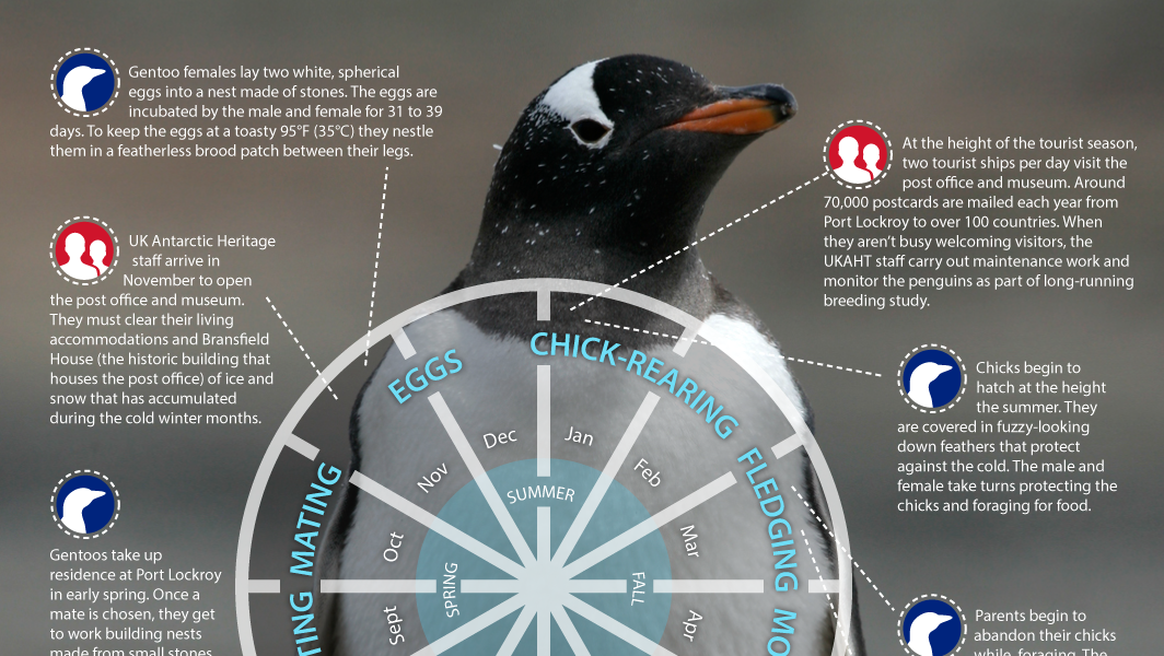 the origin and life cycle of a penguin We estimated the breeding population of emperor penguins at each  wienecke  b (2010) the history of the discovery of emperor penguin.