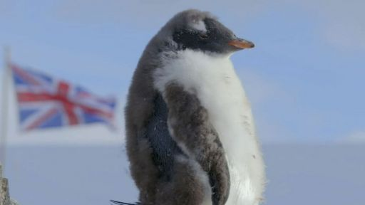 Clip |  Punk Rock Penguin Chicks Fend Off Skua