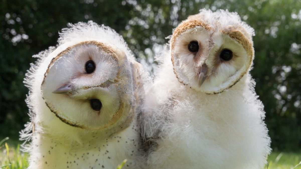 Night Owls May Face Special Challenges >> Owl Power Full Episode Nature Pbs
