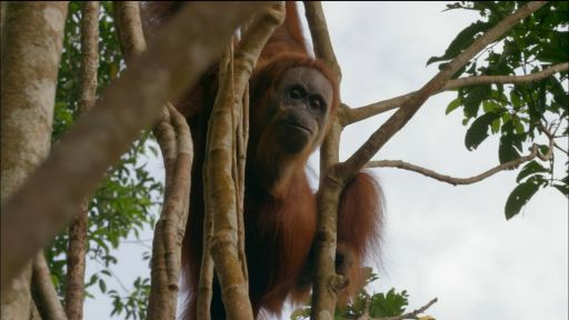 Clip |  Orangutan Mom Helps Baby Swing Through Tree Tops