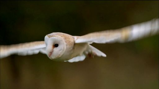 Clip |  Owl Shows Off Silent Flight Superpower