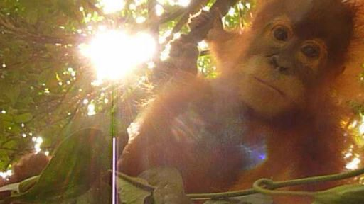 Hanging Out with Orphaned Orangutans