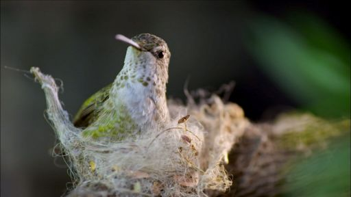Animal Homes: The Nest -- Hummingbird Builds Tiny Nest