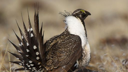 Sagebrush Marketplace Offers New Way to Protect Species