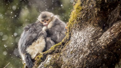 Mystery Monkeys of Shangri-La -- Mystery Monkeys of Shangri-La - Preview