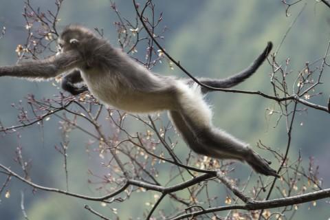 Featured Creature: Black Snub-nosed Monkey