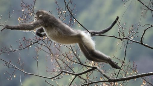 Featured Creature: Black Snub-nosed Monkey