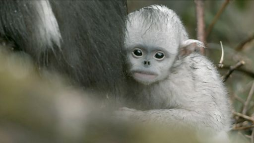Clip |  Baby Snub-nosed Monkey Abandoned by Mother