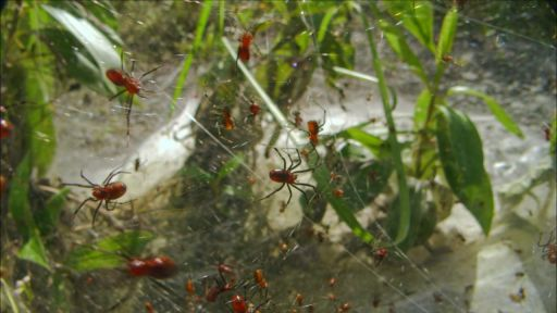 Social Spiders Build Massive Nests