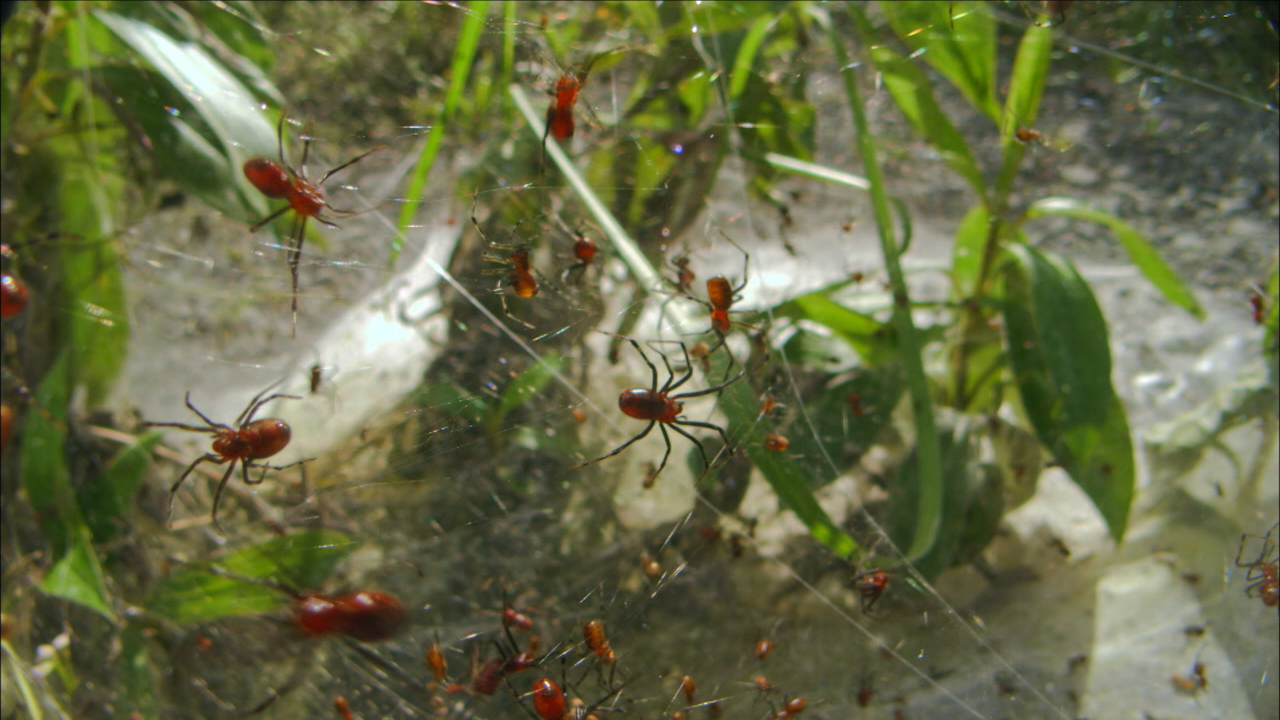 animal homes social spiders build massive nests nature pbs