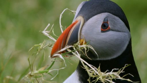 Animal Homes: Cities -- Puffins Search for the Perfect Home