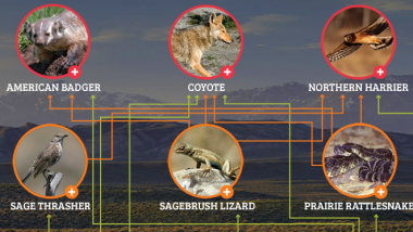 The Sagebrush Sea: Food Web