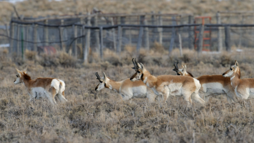 The Sagebrush Sea -- Fences Create Problems for Pronghorn