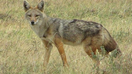 African 'Golden Jackal' Is Actually a Wolf