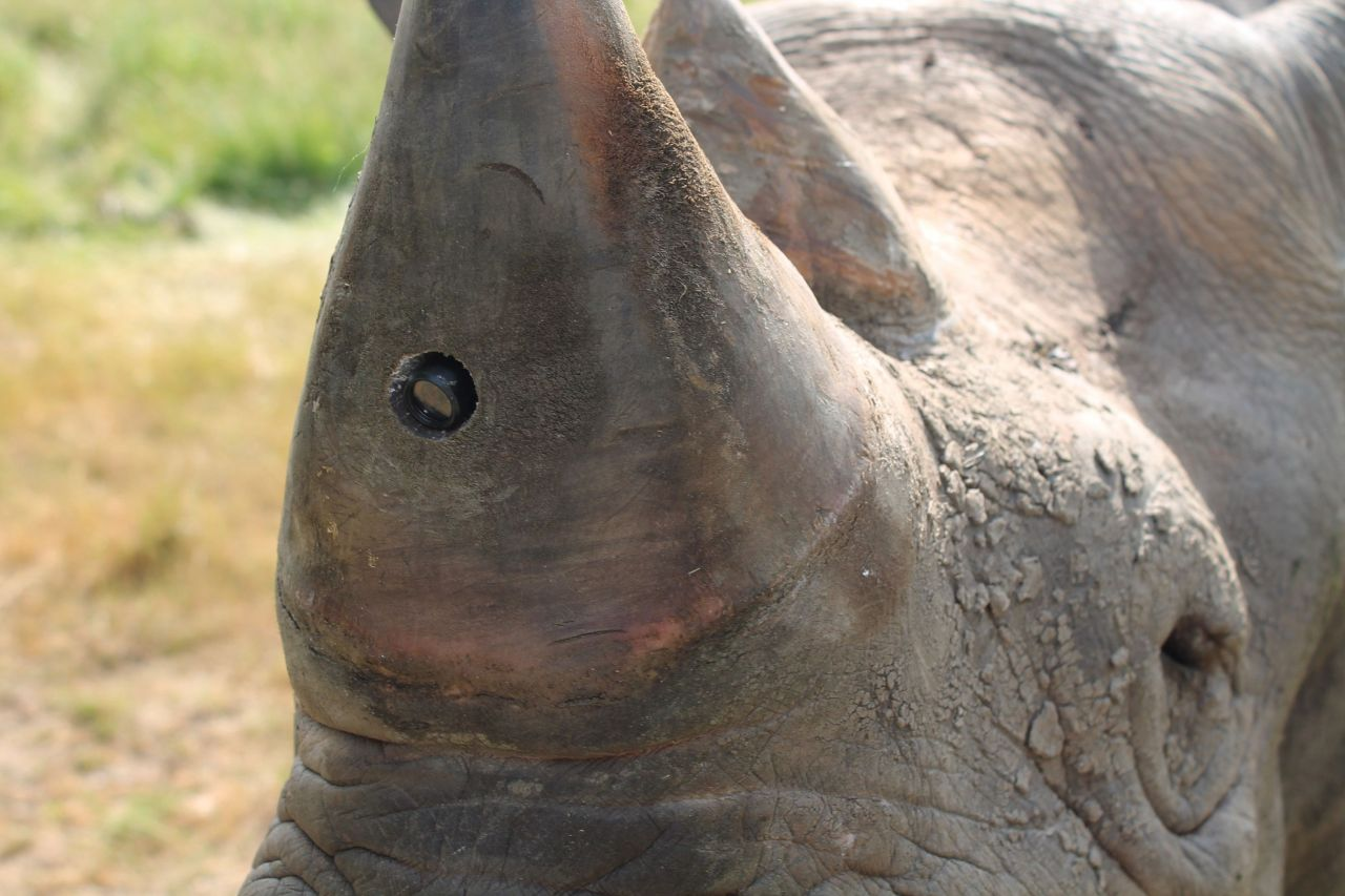 A small hole drilled into the rhino's horn contains a camera.