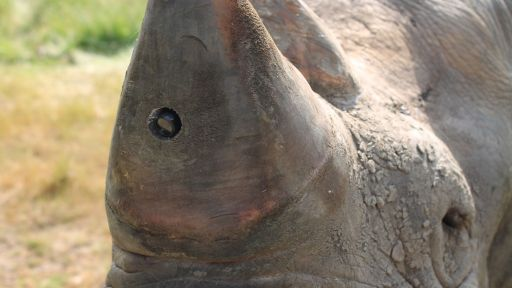 Rhino Horns Outfitted with Tiny Cameras Could Thwart Poachers