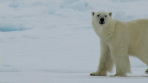 Adaptations of Arctic Animals