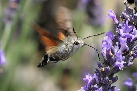 Featured Creature: Hummingbird Hawk-Moth