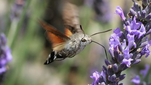 Featured Creature: Hummingbird Hawk-Moth