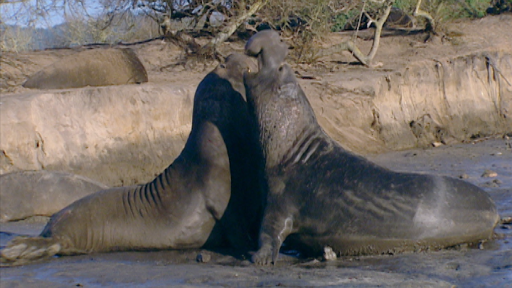 Male Elephant Seals Battle Over Females