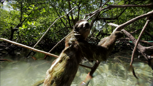 The Pygmy Sloth: A Specialized Species