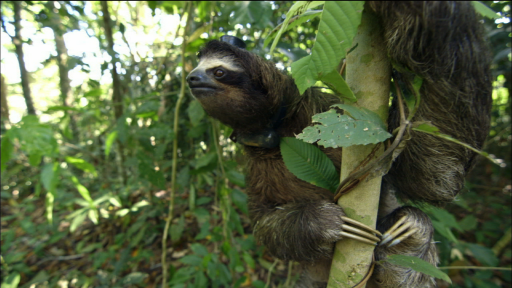 The Scientific Method: Sloth Sleep Study