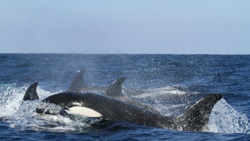 Killer Whales and the Changing Arctic
