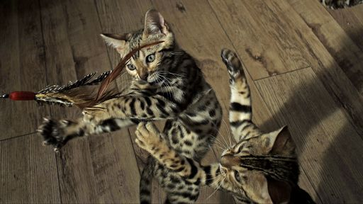 Pets: Wild at Heart | Episode 1| Playful Creatures -- Kittens Practice Hunting Skills