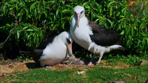 Albatross Females Raising Chicks Together